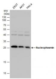 GTX112654 - Nucleophosmin