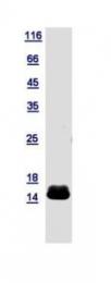 GTX112683-pro - Cytochrome c