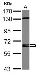 GTX112684 - CD105 / Endoglin