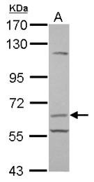 GTX112685 - CD105 / Endoglin