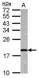 GTX112698 - Atrial Natriuretic Factor (ANF)