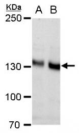GTX112734 - Cadherin-2