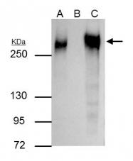 GTX112794 - Fibronectin