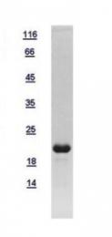 GTX112805-pro - Glucagon