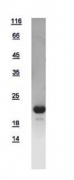 GTX112806-pro - Glucagon