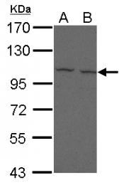 GTX112819 - CD307 / FCRL5