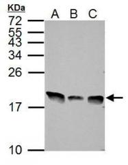 GTX112955 - Histone H3.3