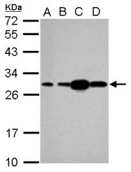 GTX112964 - HSPB1 / HSP27