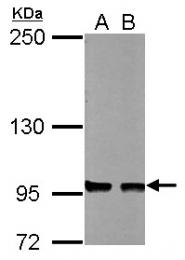 GTX113022 - CD283 / TLR3