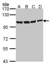 GTX113030 - TER ATPase / VCP