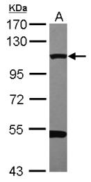 GTX113171 - Dynamin-2