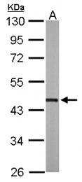 GTX113200 - Protein ALEX
