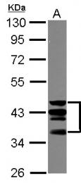 GTX113229 - CD46 / MCP