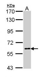 GTX113259 - Cyclooxygenase 1