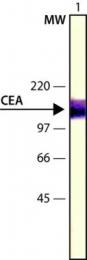 GTX11330 - CD66e / CEACAM5