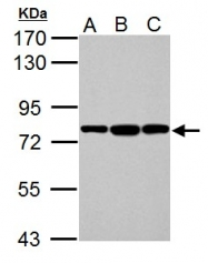 GTX113340 - HSPA5 / GRP78