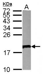 GTX113368 - CD179a / VPREB1