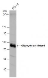 GTX113453 - Glycogen Synthase