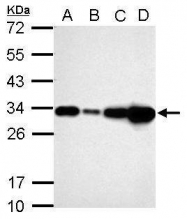 GTX113486 - Galectin-3