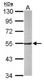 GTX113516 - Neuroserpin / SERPINI1
