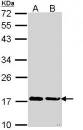 GTX113520 - Cyclophilin A