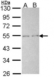 GTX113534 - PTPN11 / PTP2C
