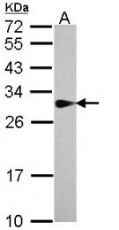 GTX113552 - Sepiapterin reductase / SPR