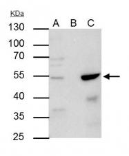 GTX113564 - TFAP2A / AP-2 alpha