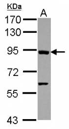 GTX113582 - Axin-1