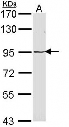 GTX113601 - Major Vault Protein