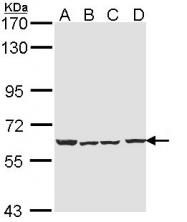 GTX113653 - Neuronal acetylcholine receptor subunit alpha-4