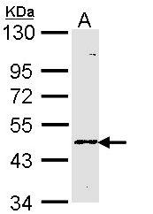 GTX113701 - Fucosyltransferase 3