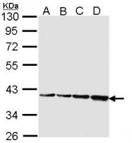 GTX113753 - IDO1 / INDO