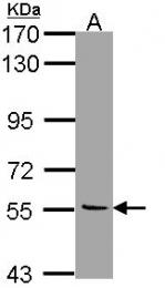 GTX113771 - Amine Oxidase B