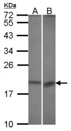 GTX113911 - Bcl-2-like 10