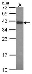 GTX113988 - Anamorsin