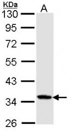 GTX114013 - Caspase-4