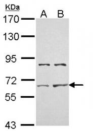 GTX114053 - Activin receptor type 2A (ACVR2A)