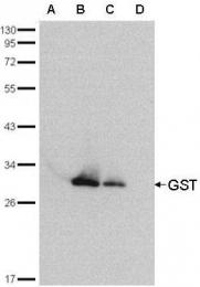 GTX114099 - GST-Tag