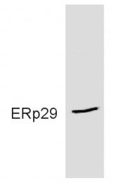 GTX11420 - ERP29