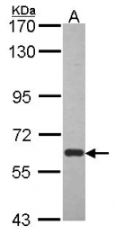 GTX114265 - ARNTL / BMAL1