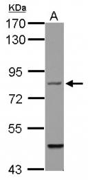 GTX114282 - Filensin