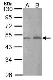 GTX114346 - CTBP2
