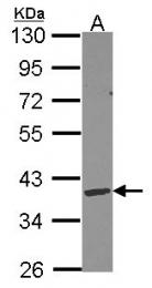 GTX114363 - Deoxyribonuclease gamma
