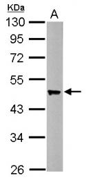 GTX114411 - Flotillin-2 / FLOT2
