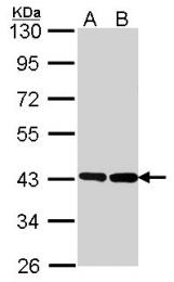 GTX114439 - G protein alpha 0