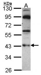 GTX114441 - G protein z alpha