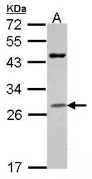 GTX114460 - Granzyme H (GZMH)