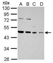 GTX114482 - DNAJA1 / HDJ2