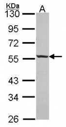 GTX114483 - Islet cell autoantigen 1 / ICA1